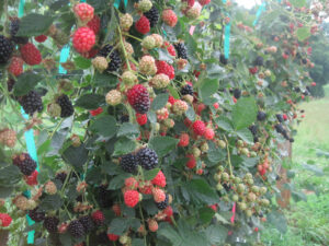 Cover photo for Specialty Crops: Dr. Daniel Tregeagle Provides Analysis on Caneberry Marketing Risk